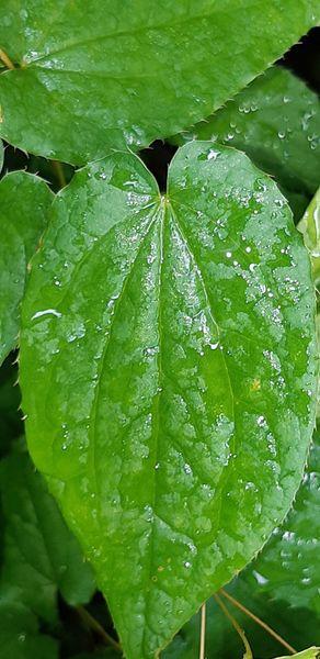 イカリソウ  <葉形、葉脈の種類>