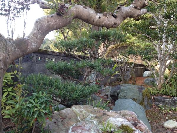 イヌマキの写真 by ネコママ 槇;マキ (12月23日撮影) 槇の木にも、高野槇(こうや