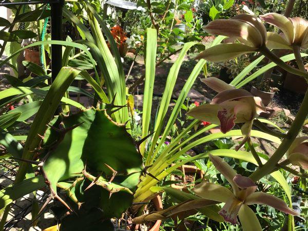 ユーフォルビア(多肉植物)の写真 by マリババ 別れの朝ーシンビジウムの女官長は昨