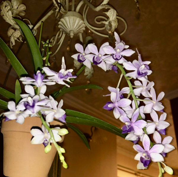 コチョウラン 紫式部
