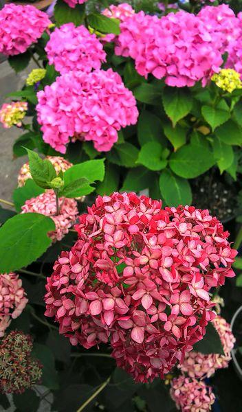 ピンクアナベルとピンクの紫陽花