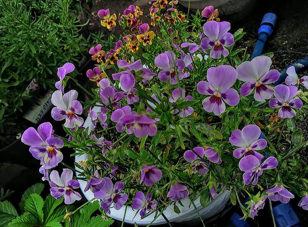 咲き続ける種こぼれビオラ