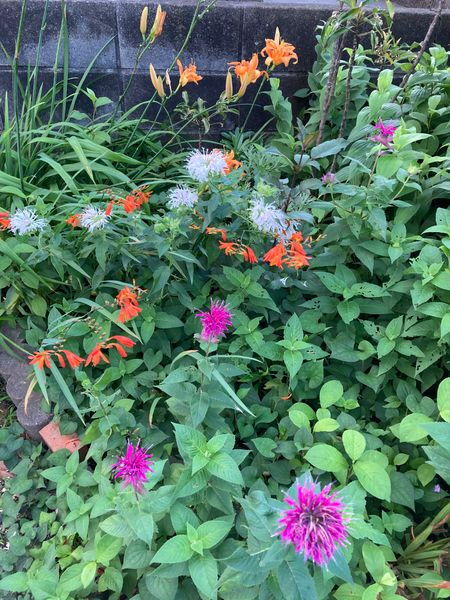 裏庭では、ヤブカンゾウ、クロコスミア、モナルダなどが生い茂っています。