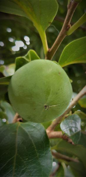 渋柿 吊るし柿にする予定  以前からあった柿木 甘いと思ったら渋かったでも大きい。