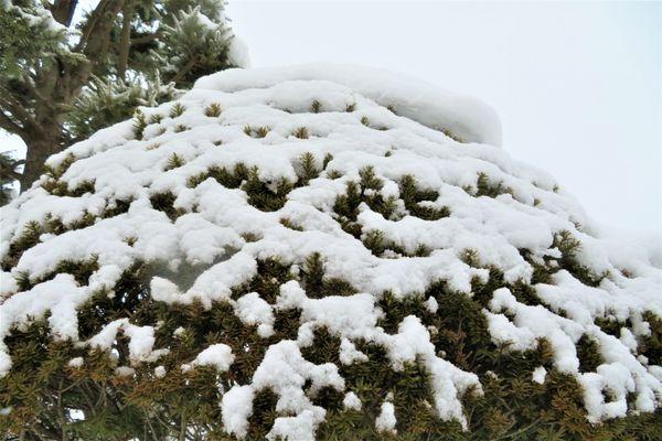 イチイの仲間の写真 by いわて 今日の庭の雪景色「5」