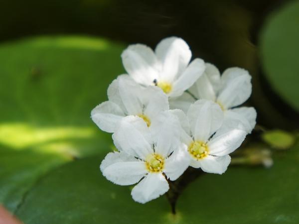 カガブタの写真 by よっこら 8/3  バナナプランツ 一か所から5花