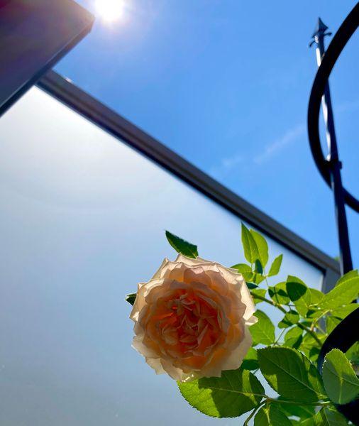 イングリッシュローズ ジェーンオースチン 俯いて咲く香りの強いシュラブ 庭に下ろす