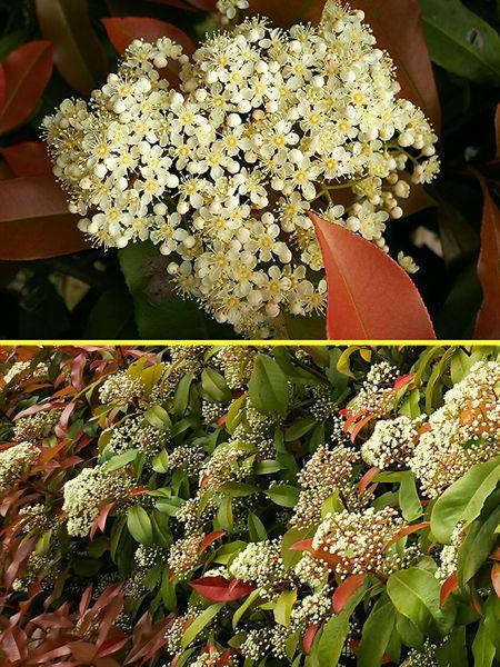 カナメモチの写真 by クローバーバ ベニカナメモチ  小さな花がたくさん集まって綺麗