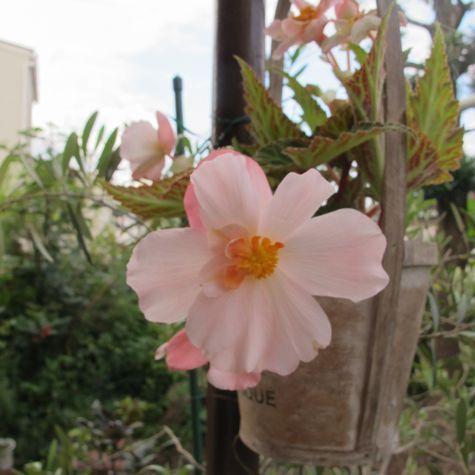 お母さんフォーチュンベゴニア この花の種をまきました いろんな花色のお花が咲きまし