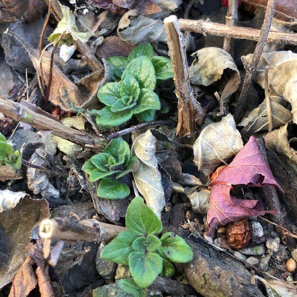 カラミンサの写真 by Allium カラミンサ 枯れた葉をカットしました。そうしたら、 そ