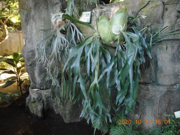 ビカクシダ-2   2020-10-11    小田原フラワーガーデン温室の 大好きな羊歯 毎年・