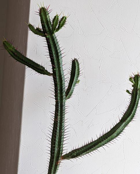 ユーフォルビア(多肉植物)の写真 by つつうらら 紅彩閣を外に出そうと思います。お