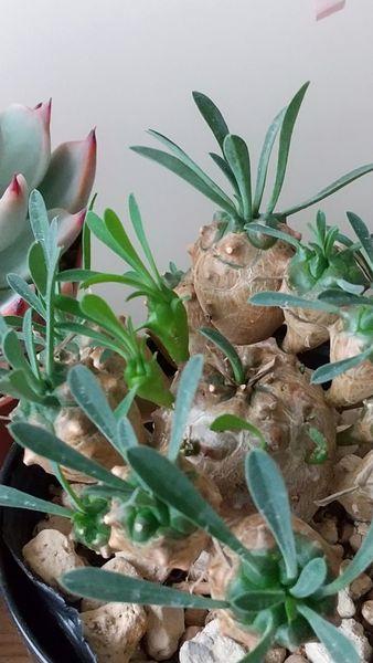 ユーフォルビア(多肉植物)の写真 by やぁこ ユーフォルビア峨眉山 子供が出てきてま