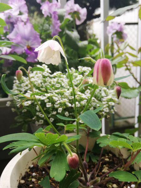 フウリンオダマキ 少しずつ、少しずつ開花😊