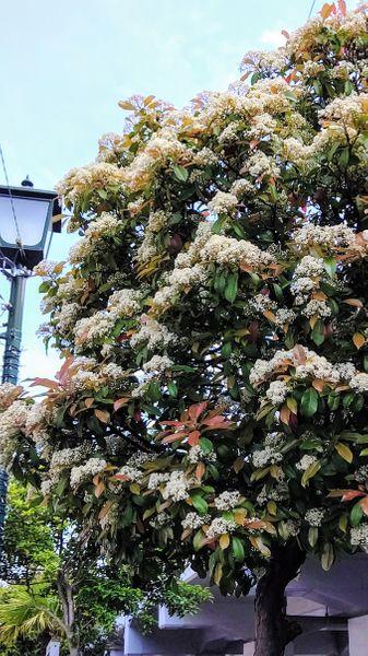カナメモチの写真 by たぬき丸 近所の街路樹が珍しいカナメモチ。こちらの赤葉は少し