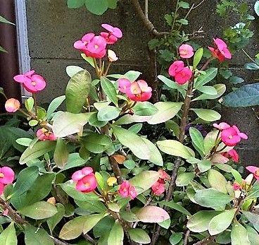ユーフォルビア(多肉植物)の写真 by 姫めだか ハナキリン シャインキッス