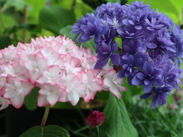 「恋物語」 「ごきげんよう」青い色がキレイです 雨で生き生きとして美しい