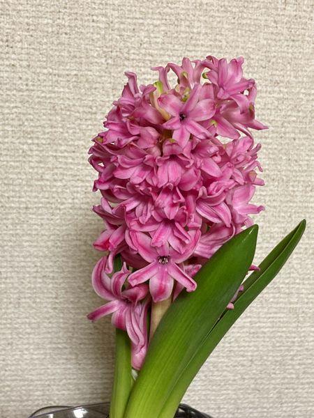 2/16  2番花。 1番花と同じ位で立派な2番花でした〜♪