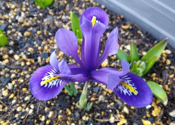 鉢植えのアイリス「ポーリン」が開花しました💠