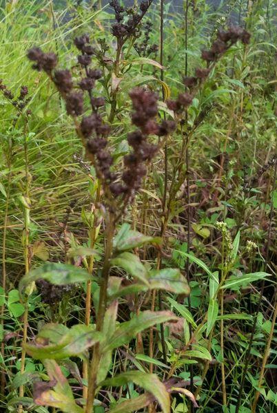 10月14日 タコノアシ  神代植物多様センターの武蔵野ゾーン。 水辺に生育するコーナー
