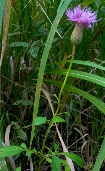 10月14日 タムラソウ 神代植物多様センターの武蔵野ゾーン。 石灰岩地エリアで……。🧐