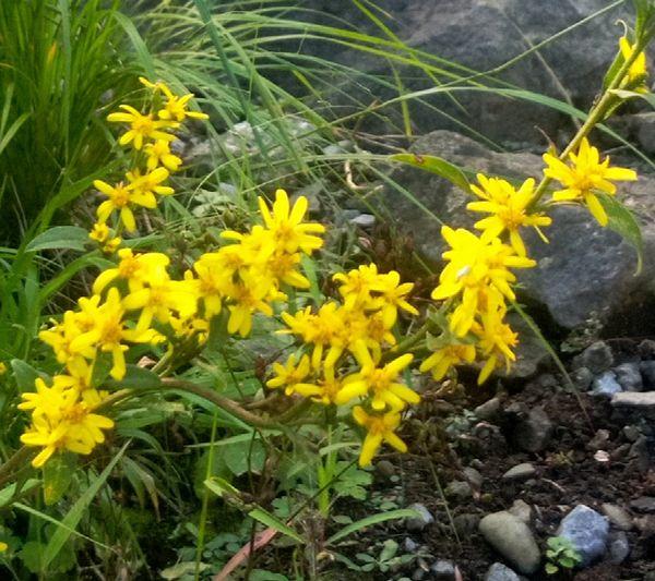 10月14日 アキノキリンソウ 神代植物多様センターの武蔵野ゾーン。 石灰岩地エリアで…
