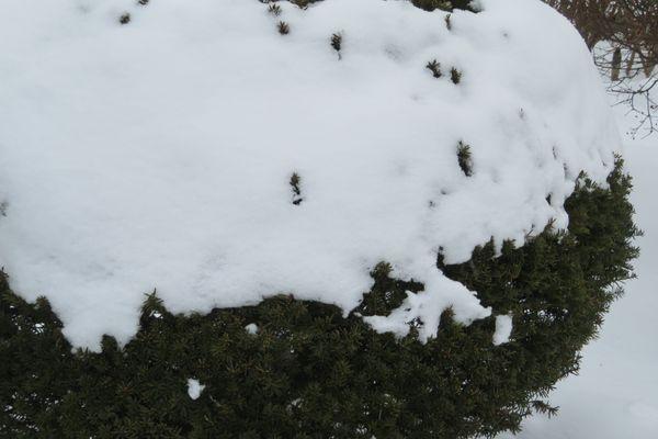 イチイの仲間の写真 by いわて 今日の庭の雪景色「1」 今朝の最低気温は氷点下10度