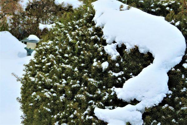 イチイの仲間の写真 by いわて 今日の庭の景色「5」