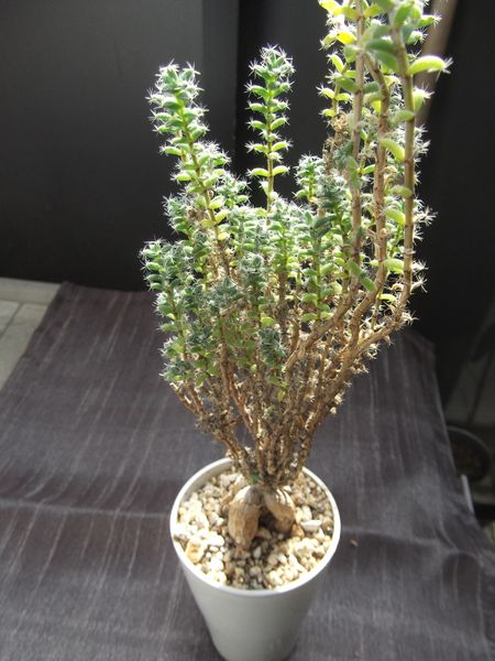 姫紅小松は枝葉はよく成長するのですが肝心の塊根部が大きくなっているのか分かり難い
