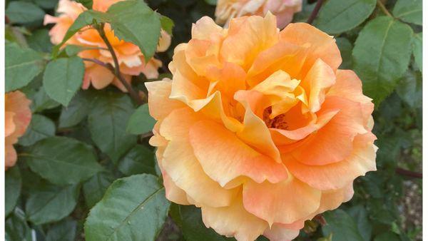 秦野カルチャーパーク「バラ園」散策観察:2021/5/4