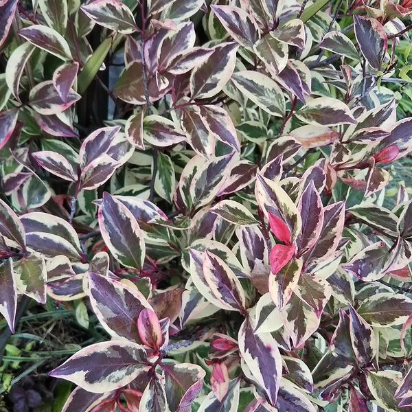 斑入り榊の紅葉