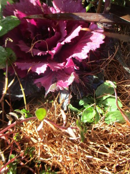 寄せ植えのビオラ マツの葉っぱで寒さ避け