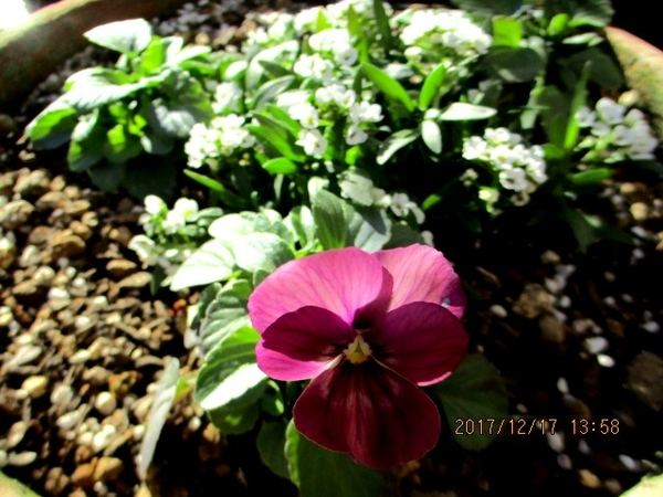 種まきっこビオラ なごみももかしんしんの初花です