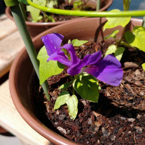 石畳咲の変更朝顔、咲きました😃 実は2輪め。。。 昨日初めて咲いた石畳咲の花は、 仕