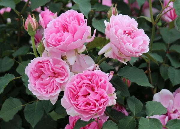【決定! 第11回 国営越後丘陵公園「国際香りのバラ新品種コンクール」】 香りの評価