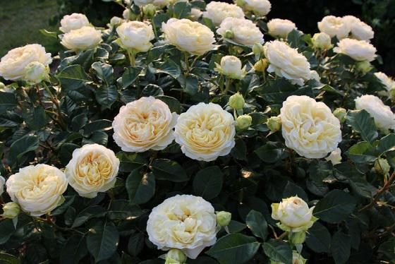 【決定! 第11回 国営越後丘陵公園「国際香りのバラ新品種コンクール」】 最優秀の国