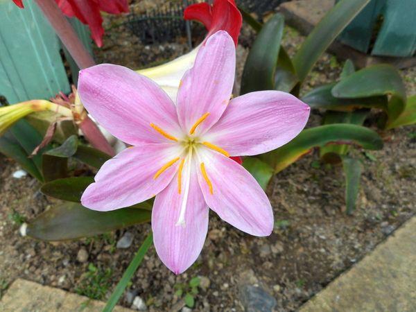 ゼフィランサスの写真 by 愛は花。 6月3日 ゼフィランサスが咲きました。