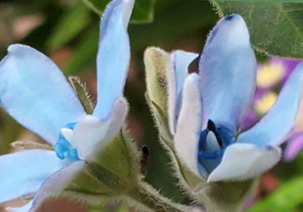 オキシペタラム(ブルースター)の写真 by mussy =お散歩で出会ったお花達=  《ブル