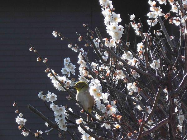 ウメ(花ウメ)の写真 by まりん 2月19日、自宅庭の梅の木は花数も増えて、毎朝メジロ