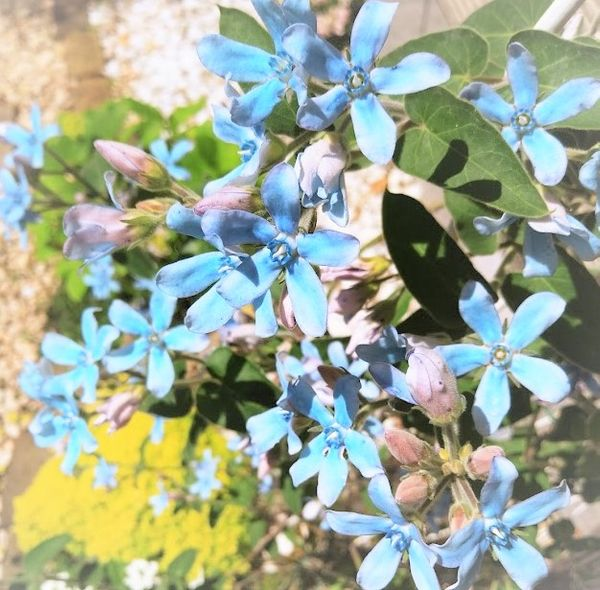 オキシペタラム(ブルースター)の写真 by h☆romio 2021.5.31 晴天が続いてオキ