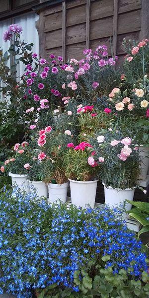 カーネーションの写真 by ニヤ 上段左はじ オルフィカ 綺麗に咲きました