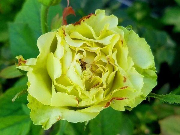 今日のバラ・スーパーグリーン