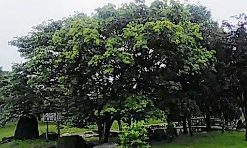 ヤマグワの大きな木