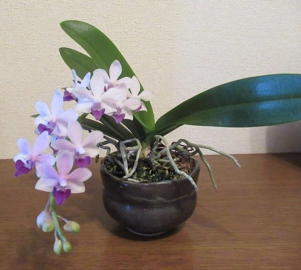 コチョウラン(胡蝶蘭)の写真 by moka* お盆からずっと咲いている、ミニコチョウラン