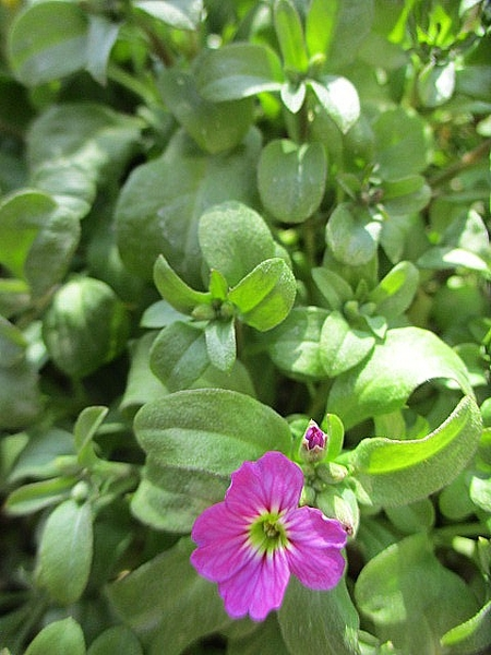 2/5 バージニアストックようやく開花  また会えましたね~ 昨年8月の種まきから半年