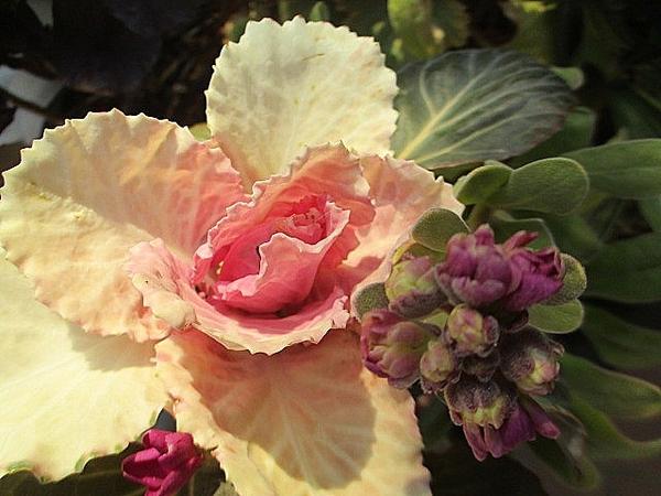 7月種まきのストック ようやく蕾がふっくらと 年内開花の年もあったのにほんとうにこ