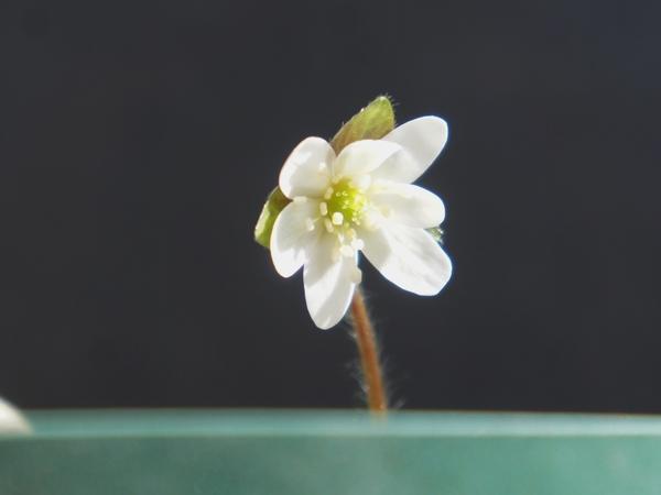 2/6  蕊も白い白花