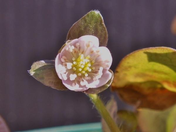 2/6 ちいさなほんのりピンクの花