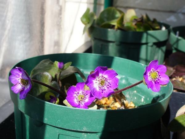 2/6 赤紫色