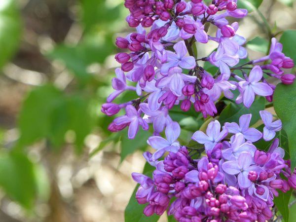 四季の風景写真「はる」 photo@ma  #花 #散歩 #自然 #公園 #植物園 #風景 #ライラック